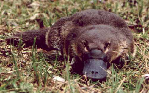 Platypus01